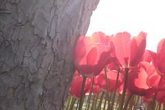 _MG_4423 (gkimirti) Tags: flower tulip 2015 emirgan laleler