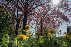 Spring :))) (RalfK61) Tags: 04 blumen april garten frühling blüten 2015