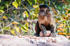 "Bearded Capuchin <a style=""margin-left:10px; font-size:0.8em;"" href=""http://www.flickr.com/photos/41134504@N00/17349125005/"" target=""_blank"">@flickr</a>"
