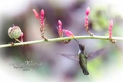 Hummingbird on Yucca Bloom
