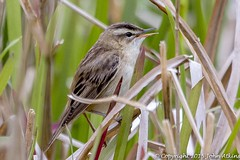 Sedge Warbler at Nene Park Trust 14/05/15 (johnatkins2008) Tags: riverside waterside ferrymeadows warblers reedbeds neneparktrust sedgewarblers johnatkins2008