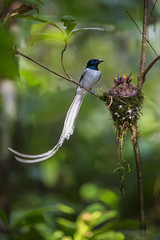 ... papa ... (liewwk - www.liewwkphoto.com) Tags: bird forest canon asian asia paradise jungle malayisa flycatcher  passerine  terpsiphoneparadisi asianparadiseflycatcher birdtour malaysiabird   liewwk malaysiabirdtour