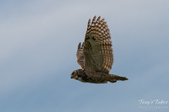 Great Horned Owl feels from its tormentors