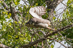 Adult Great Horned Owl in flight