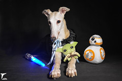 May The Fourth Be With You -- Explored (houndstooth4) Tags: dog greyhound bunny ddc odc starwarsday day125366 dogchal 366the2016edition 3662016 4may16