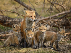 A Red Fox Family Affair (KvonK) Tags: family wild ontario may fox kits kit playful vixen redfox 2016 urbanwild nikond500 kvonk nikon200to500mm