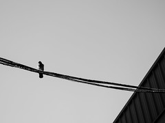 ... life on a wired ... (Fede Falces ( ...... )) Tags: barcelona urban blackandwhite bw bird lines silhouette wire noiretblanc geometry wired minimalism