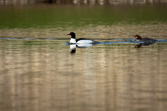 And What Do You Suppose She's Saying to Him? (LongInt57) Tags: blue red brown white canada black reflection green bird nature water swimming grey reflecting pond wake bc okanagan wildlife gray floating ripples kelowna common merganser