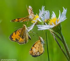 D5D_4250pearlcrescents2jsm (JayEssEmm) Tags: flowers flower butterfly ma massachusetts butterflies crescent pearl boylston pearlcrescent mcelvery jsmcelvery