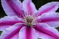 Clematis (PMillera4) Tags: flower closeup clematis maro