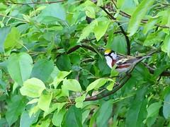 Chestnut sided Warbler DSC02841 (2) (BayonneBirder) Tags: bird chestnut warbler sided
