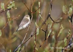 Pajulintu (Phylloscopus trochilus), Willow Warbler (Paavo Laine) Tags: bird lappi kesä paju lintu phylloscopustrochilus pikkulintu pajulintu kertut