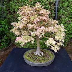 Acer palm- butterfly - Fcherahorn - Alter ca. 26 Jahre (mama knipst!) Tags: spring bonn acer bonsai baum frhling rheinaue ahorn fcherahorn