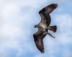 Osprey With Alewife (Me in ME) Tags: fish fauna maine warren prey predator ra osprey alewife alewives