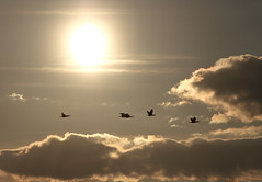 HighFly! (BigWhitePelican) Tags: sky orange sun birds finland may 2016 canoneos7d adobelightroom6