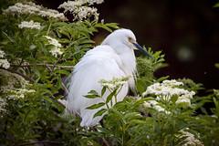 Snowy egret (gtb2003) Tags: birds alligator chicks fl staugustine greatblueheron greategret herons nesting egrets tricoloredheron cattleegret woodstork roseatespoonbill snowyegrets littleblueheron alligatorfarm
