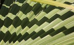 Ombres dans le zig et dans le zag (Pi-F) Tags: soleil lumire vert ombre zigzag palmier feuille