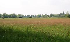 16-IMG_1882 (hemingwayfoto) Tags: blhen gras grasblte grosenheidorn heuschnupfen landschaft natur norddeutschland ostufer regionhannover wiese