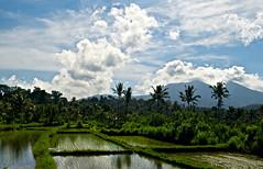 Bali Rice Fields (MrCrisp) Tags: bali nature beauty indonesia landscape asia