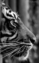 Facelook (JKmedia) Tags: paigntonzoo boultonphotography bigcats feline zoo captivity tiger pantheratigrissumatrae stripes profile n15c mammal bw blackwhite blackandwhite