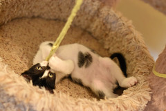 Garrison (Save-A-Pet Adoption Center) Tags: male cat blackwhite kitten foster garrison 2016 saveapet robynslitter
