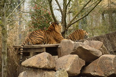 Islands at Chester Zoo (171) (rs1979) Tags: zoo islands tiger chester sumatrantiger chesterzoo