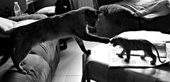 Cat vs toy (Gurutx) Tags: cat toy monocromo gato tigre gatita juguete gatitojugando