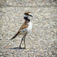 Killdeer chick (Charadrius vociferus) (Mycophagia) Tags: bird pennsylvania killdeer chick pa plover charadriusvociferus tamiment