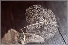 Dentelle d'hortensia (objet introuvable) Tags: flower macro nature fleur monochrome canon anythinggoes macromondays canon70d