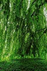Buche in Hiltrup - 2016 - 0009_Web (berni.radke) Tags: tree giant baum beech mnster buche colossus riese hiltrup