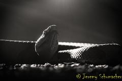 Northern Copperhead B&W Edit (Jeremy Schumacher) Tags: bw art nature animal silhouette nikon moody snake wildlife serpent northern copperhead agkistrodon contortrix d5000 mokasen