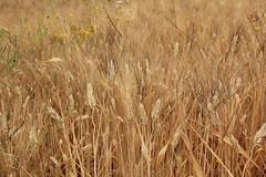Sono gi biondo!!! (Anfora di Cristallo) Tags: grano cereali triticumdurum