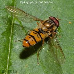 Episyrphus balteatus , NGID369636542 (naturgucker.de) Tags: episyrphusbalteatus naturguckerde uracherwasserfallundmaisental cmarkusschmid ngid369636542