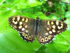 Butterfly 980 (+310000 views!) Tags: butterfly papillon borboleta mariposa farfalla schmetterling