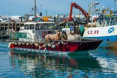 You can lead a horse to water....... (Dafydd Penguin) Tags: horse horses ferry landing craft transport mallaig scotland west coast water harbour harbor port dock coastal nikon d600 nikkor 85mm af f18d