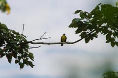 social flycatcher (arcibald) Tags: myiozetetessimilis socialflycatcher flycatcher riomadrededios tambopata puertomaldonado peru caobalodge amazon bird birds aves
