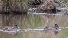 Stictonetta naevosa (Diana Padrn) Tags: freckled duck stictonetta naevosa water lake bird outdoors nature