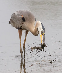 Very muddy catfish (tresed47) Tags: 2016 201606jun 20160627bombayhookbirds birds bombayhook canon7d content delaware folder greatblueheron heron peterscamera petersphotos places takenby us ngc npc