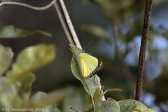 Delias mavroneria flavidor (pirotake) Tags: insect butterfly butterflies papua nature delias pieridae