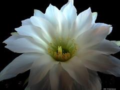 Echinopsis subdenudata (Paolo Bonassin) Tags: flowers cactaceae cactacee cactus succulente echinopsis echinopsissubdenudata