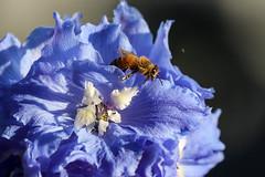 The delphiniums hadn't attracted the bees at all until this lone soldier (island deborah- nature website deborahfreeman.ca- ) Tags: delphinium bee