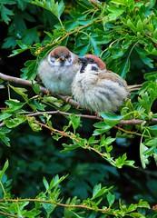 Tree Sparrows, Bempton Cliffs, East Yorkshire 27 July 2016. (Lathers) Tags: bemptoncliffs rspbbemptoncliffs seabirds cliffs canonef100400f4556lismarkii canoneos7dmarkii 25july2016 treesparrow passermontanus
