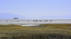 Wide Open Spaces (New Brensland Photography) Tags: buffalo greatsaltlake