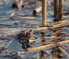 Toad session (relaxing) (uhx72) Tags: lake nature water animal spring amphibian toad springtime bufo erdkrte