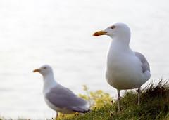 The birds (Count Rushmore) Tags: france lumix seagull panasonic rushmore normandie fz 1000 etretat dmc count countrushmore