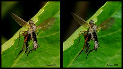 3D cross-view L40_0131 (fotoopa) Tags: macro inflight 3d insects laser highspeed flyinginsects highspeedflash 3dphotography vliegende insectsinflight vliegend 3dmacro highspeedcapture picturesinflight highspeedmacro af10528dmicro fotoopa inflightinsects lasercontrol lasertriggered vliegendeinsecten laserdetection 3dinsects 3dinflight lasercamera flyinghighspeedinsects highspeedlaserdetector irlaserdetection multiplelaserdetection insectenfotografie vliegendebeestjes fotosvliegendeinsecten picturesinflightinsects