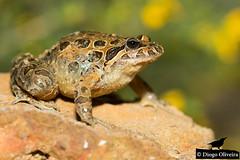 Rã-de-focinho-pontiagudo (Diogo Oliveira (TheRocky41)) Tags: amphibiaanfíbios anurasaposrãserelas chordata discoglossidae discoglossusgalganoisapodefocinhopontiagudo anfibio anfíbio anfibios anfíbios amphibia amphibian amphibians sapo sapos toad toads focinho pontiagudo iberian frog frogs painted sapodefocinhopontiagudo focinhopontiagudo iberianpaintedfrod paintedfrog discoglossusgalganoi discoglossus galganoi therocky41 therocky41photos nature naturephotography wildlife wildlifephotography bbc national geographic nationalgeographic nat geo natgeo wonders europe wildwondersofeurope planet animalplanet onwild