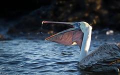 20140714-BK2W7210-Edit-Edit (Swaranjeet) Tags: pelican pelicans galapagos ecuador bird largebirds july2014 canon fullframe 1dx eos1dx dslr sjs swaran swaranjeet swaranjeetsingh sjsvision sjsphotography swaranjeetphotography 2014 eos canoneos1dx 35mm ef pro 200400 canonef200400mm canonef200400mmf4lisusm14x singh photographer thane mumbai india indian