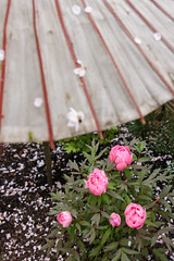 DS7_1114.jpg (d3_plus) Tags: plant flower building nature rain japan walking spring scenery shrine bokeh kamakura daily architectural telephoto rainy bloom  cherryblossom  sakura tele yokohama  tamron  kanagawa  shintoshrine   dailyphoto sanctuary 28300mm  shonan  kawasaki thesedays     28300    tsurugaokahachimangu    holyplace tamron28300mm   tamronaf28300mmf3563   a061   architecturalstructure telezoomlens d700   tamronaf28300mmf3563xrdildasphericalif nikond700 tamronaf28300mmf3563xrdildasphericalifmacro tamronaf28300mmf3563xrdild nikonfxshowcase a061n