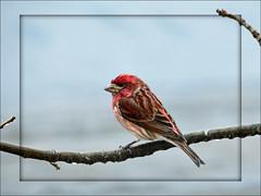 049 copy (cora.anne) Tags: rain framed purplefinch